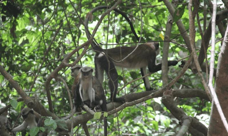 three monkeys in a tree